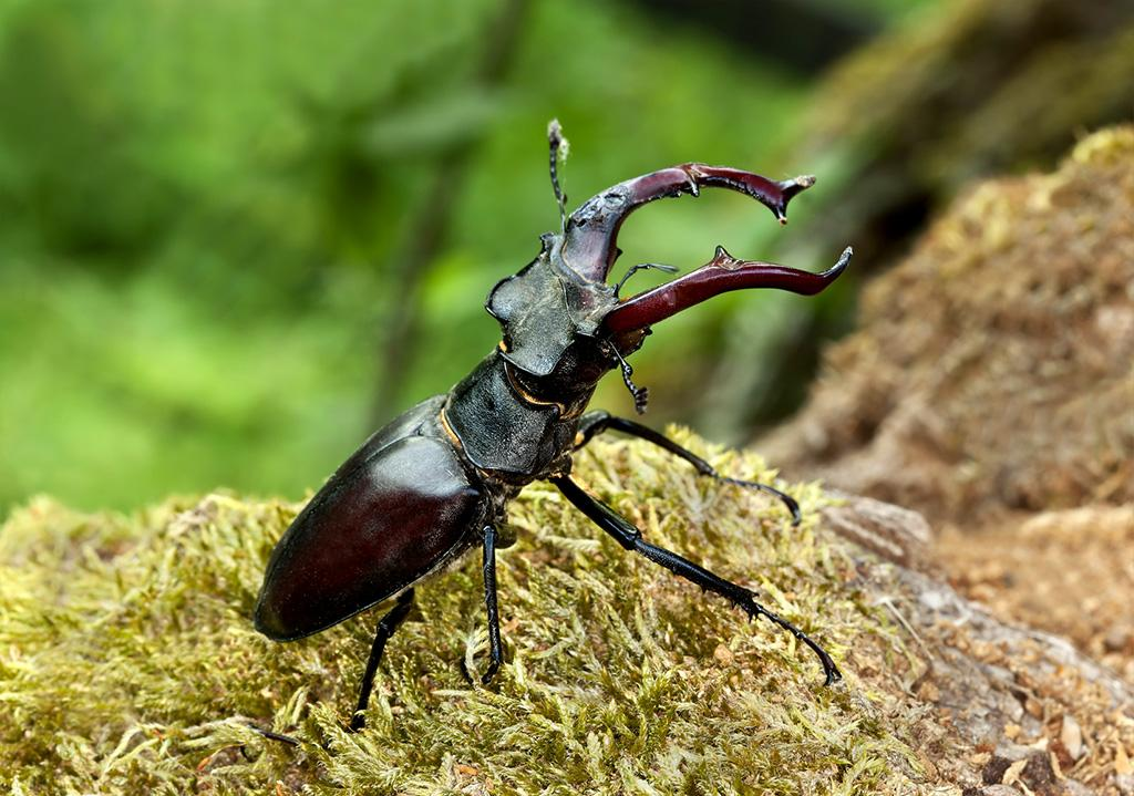 Lucanus Cervus is one of the protected species.By Henrik Larsson/Fotolia